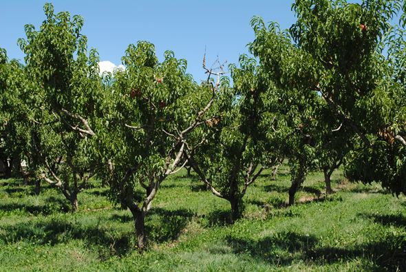 Palisade Colorado peaches