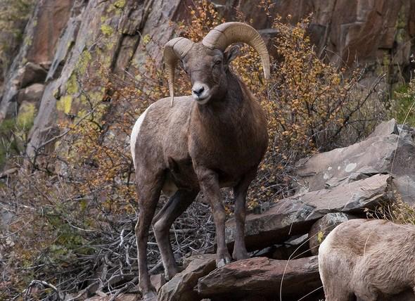 Bighorn sheep in Big Thompson Canyon