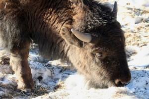 Bison calf west of Denver