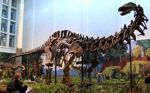 Apatosaurus skeleton from Dinosaur National Monument