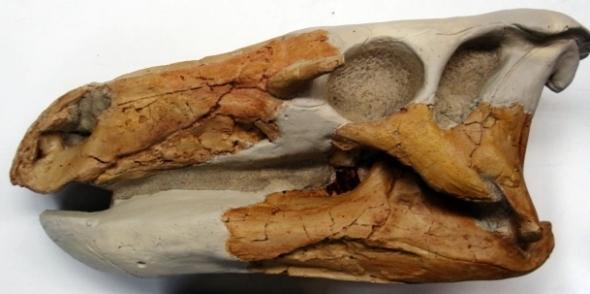 Theiophytalia skull