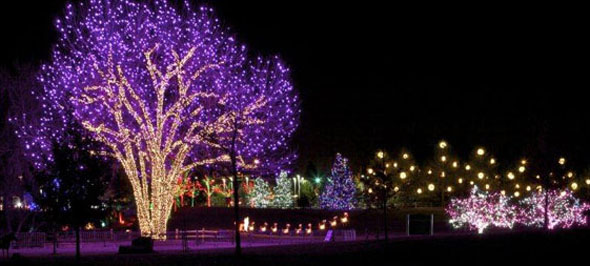 Cottonwood tree, all dressed up for the winter holidays. / Photo by David Winger